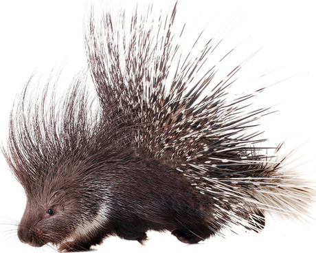 how to keep porcupines away