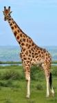 rothschild-giraffe-dupont-350