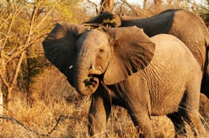 wild-african-elephant-single
