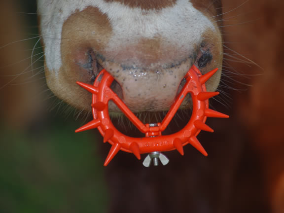 calf_nose_ring.jpg
