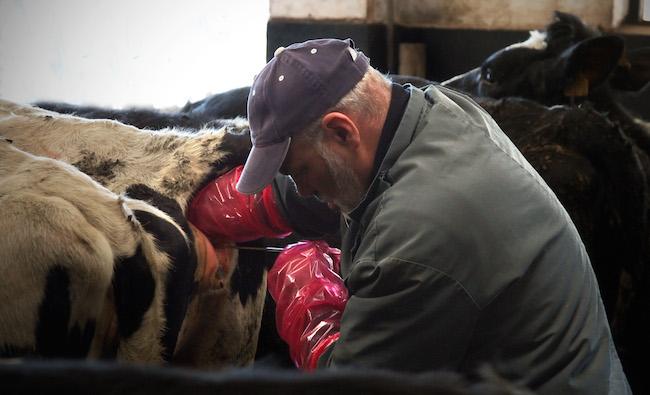 cow-rape.jpg